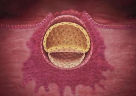 Quá trình hình thành và phát triển thai nhi theo từng tuần - Tuần thứ 2